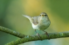 Pierwiosnek, Common Chiffchaff (Phylloscopus collybita) ...
