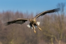 Bielik, White-tailed Eagle (Haliaeetus albicilla) ...